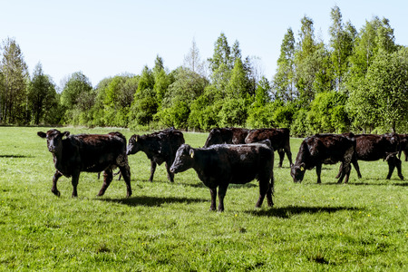 conservation grazing: A herd of cows breed black Angus grazing in a green field on a Sunny summer day