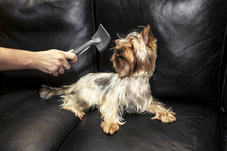 yorke: Woman combing your Yorkshire Terrier on a leather couch Stock Photo