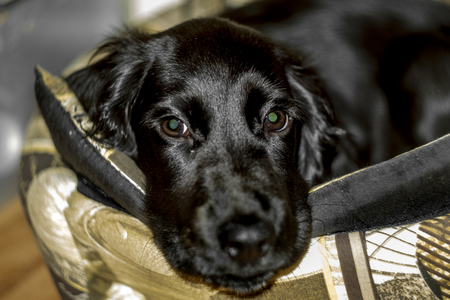 Cute black Cocker Spaniel puppy is lying on his litter 版權商用圖片