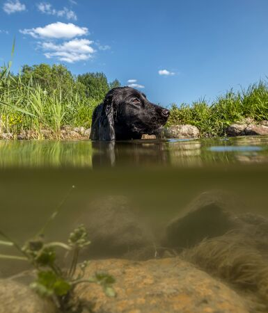 black Cocker Spaniel swims on a lake on a Sunny summer day