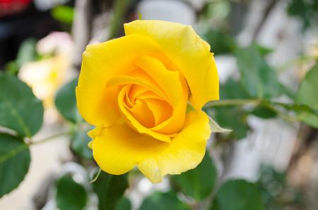 barbs: Yellow rose