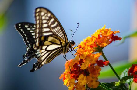 lantana: Papilio Stock Photo