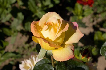gloria: Rose Gloria Dei