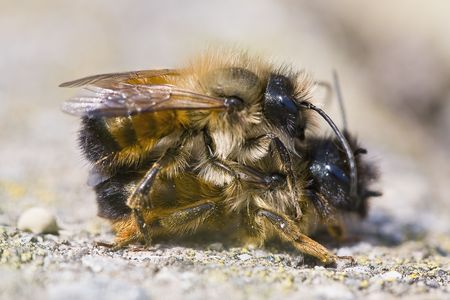 copulation: a pair of bee during the copulation