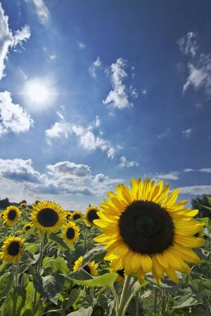 a field of sunflowers Stock Photo - 5221136
