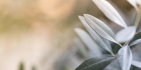 horizontal format: Olive tree photo background, horizontal format
