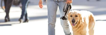 Golden retriever dog outdoor, urban life
