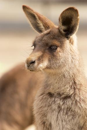 zoologico: Canguro en zoológico