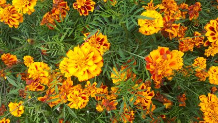 Bright and beautiful scattering of yellow-orange flowers of velvet, blooming autumn pleases a variety of colors