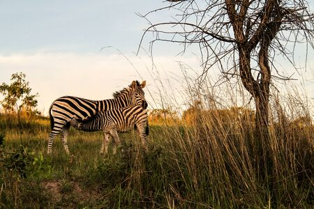 nursing mother: Zebra mother nursing her young