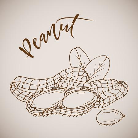 Vector illustration hand drawn sketch peanut