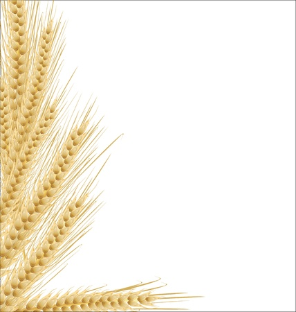 wheat fields: Ears of wheat on isolated white background