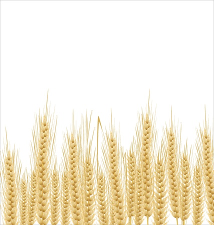 rice plant: Wheat background
