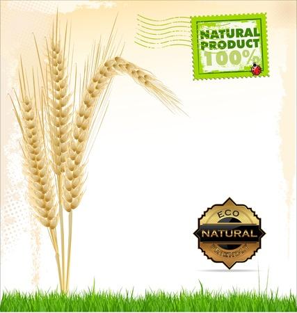 yellow  agriculture: Fondo del trigo producto natural Vectores