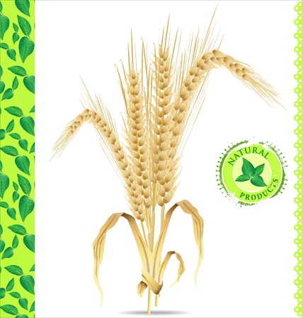 wheat illustration: Sfondo naturale, spighe di grano, illustrazione Vettoriali
