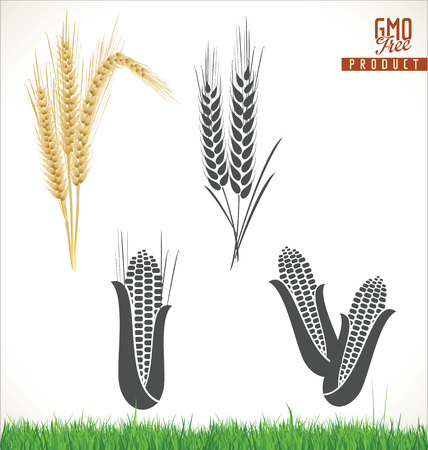 corn stalks: corn