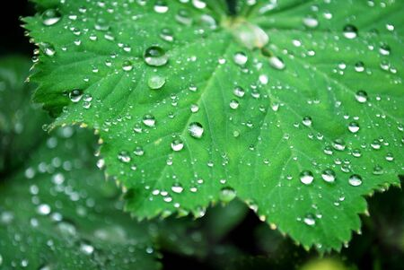 ladys mantle: macro of dew drops on a lady�s mantle leaf Stock Photo