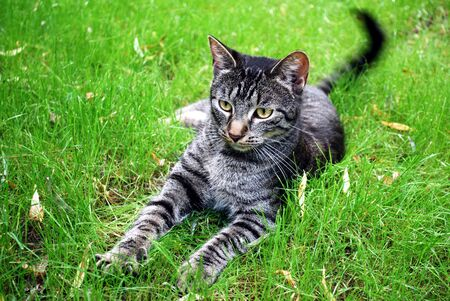 tabby cat lying on the grass with whipping tail Stock Photo - 5295253