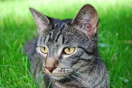 nger: young tabby cat lying on the grass with shallow green background Stock Photo