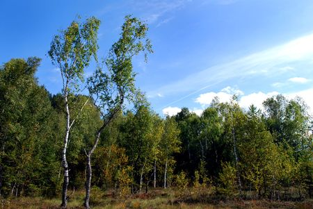 allgau:  birch trees in a moor in bavaria, germany Stock Photo