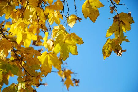 yellow maple leaves in fall with blue sky photo