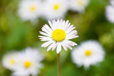 blumen: macro of daisies in a meadow