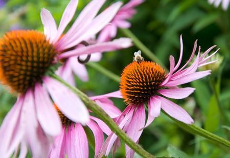Echinacea Purpurea Blumen in einem ländlichen Garten  Standard-Bild