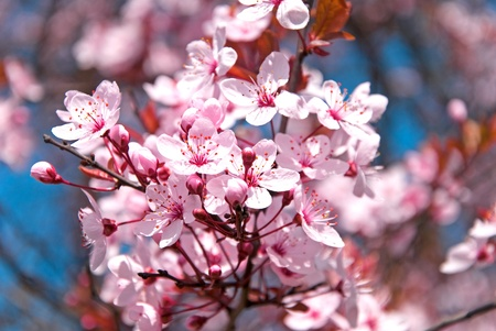 pink cherry blossom in spring time with blue sky