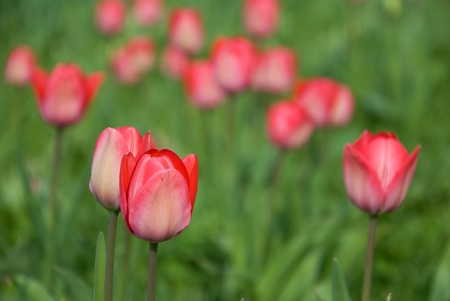 blumen: red tulips in front of green shallow background Stock Photo