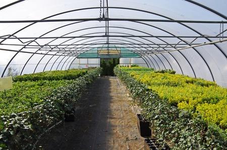 invernadero: plantas de semillero Boxtree en un invernadero en un vivero