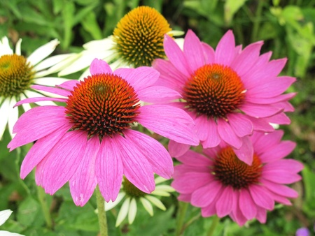globuli: close-up of pink echinacea flowers in a flower bed