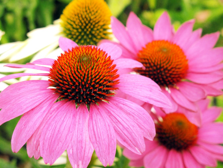 globuli: close-up of pink echinacea flowers in a flower bed                   Stock Photo