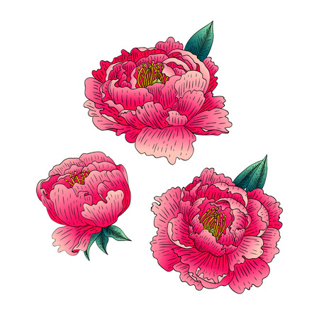 Vector set van pioenrozen. Bloemen op witte achtergrond worden geïsoleerd die. Stock Illustratie