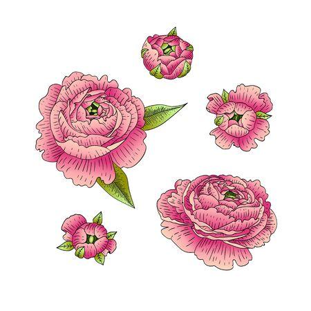 Vektorsatz von Ranunculus. Blumen getrennt auf weißem Hintergrund. Standard-Bild - 88858145