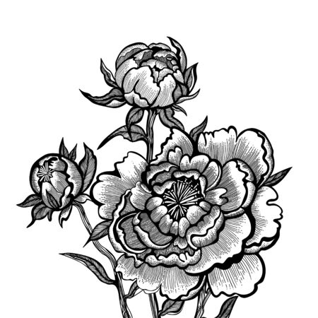 Hand drawn peonies isolated on white background. Vector illustration.