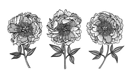 Hand-drawing peonies vector graphic flowers. Design elements for invitations, wedding greeting cards, wrapping paper, cosmetic or food products.