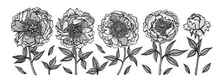 Peônias de mão-desenho. Ilustração de gravura de vetor vintage. Isolado no fundo branco. Elementos de design para convites, cartões, papel de embrulho, embalagens de cosméticos, etiquetas, tags. Ilustración de vector