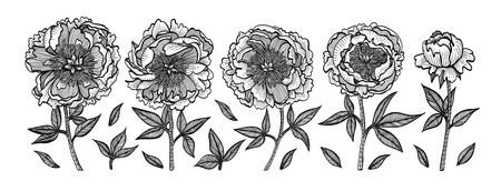 Hand-drawing peonies. Vintage vector engraving illustration. Isolated on white background. Design elements for invitations, greeting cards, wrapping paper, cosmetics packaging, labels, tags.