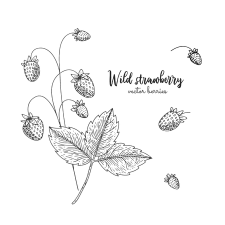 Hand drawn illustration of wild strawberry isolated on white background. Vettoriali