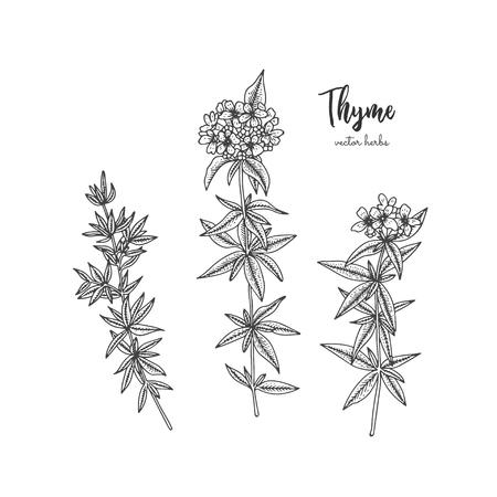 Vintage botanische Gravurillustration des Thymians. Schönheit und Spa, kosmetische Zutat. Gestaltungselemente für Werbung, Werbung, Grußkarten, Geschenkpapier, Kosmetikverpackungen, Etiketten, Flyer