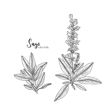 Vintage engraving illustration of sage. Healing and cosmetics herb. Botanical illustration for natural cosmetics, beauty store, health care products, perfume, essential oil