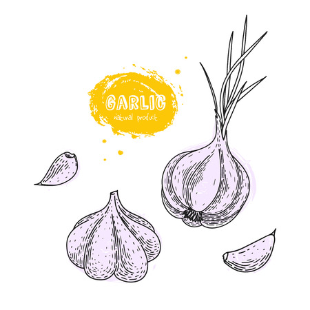 Garlic hand drawn vector illustration in the style of engraving. Grunge illustration for create the menu, recipes, decorating kitchen items.
