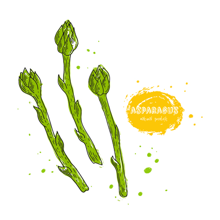 Vector asparagus hand drawn illustration in the style of engraving. Detailed vegetarian food drawing. Farm market product. Grunge illustration for create the menu, recipes, decorating kitchen items