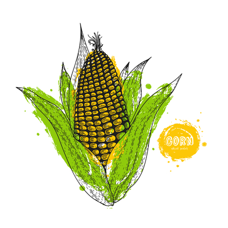 Vector corn hand drawn illustration in the style of engraving. Detailed vegetarian food drawing. Farm market product. Grunge illustration for create the menu, recipes, decorating kitchen items. Illustration