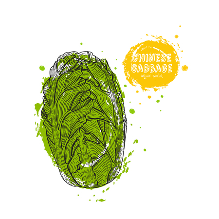 Chinese cabbage hand drawn illustration in the style of engraving. Detailed vegetarian food drawing. Farm market product. Grunge illustration for create the menu, recipes, decorating kitchen items