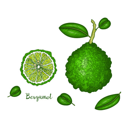 Hand drawn illustration of bergamot isolated on white background. Fruit engraved style illustration. Detailed vegetarian food. Applicable for menu, flyer, label, poster, print, package design.