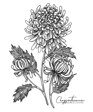 Engraved hand drawn illustrations of chrysanthemum. All element isolated. Design elements for wedding invitations, greeting cards, wrapping paper, cosmetics packaging, labels, tags, quotes, posters. Ilustração Vetorial