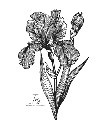 Engraved illustration of iris isolated on white background. Design elements for wedding invitations, greeting cards, wrapping paper, cosmetics packaging, labels, tags, quotes, blogs, posters.