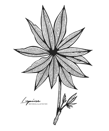Engraved illustration of lupine isolated on white background. Design elements for wedding invitations, greeting cards, wrapping paper, cosmetics packaging, labels, tags, quotes, blogs, posters.