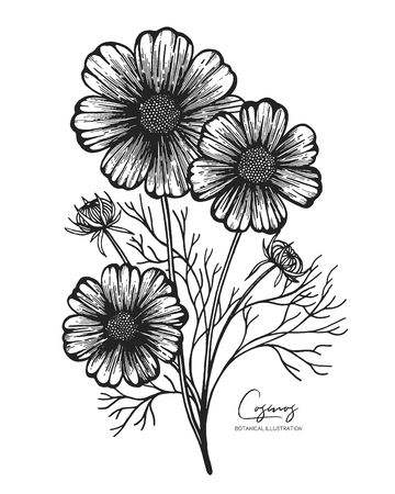 Engraved illustration of cosmos isolated on white background. Design elements for wedding invitations, greeting cards, wrapping paper, cosmetics packaging, labels, tags, quotes, blogs, posters
